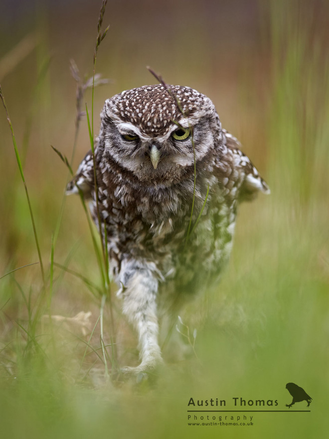 Walking owls look so odd.