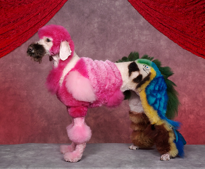 Stunning example of crazy dog grooming.