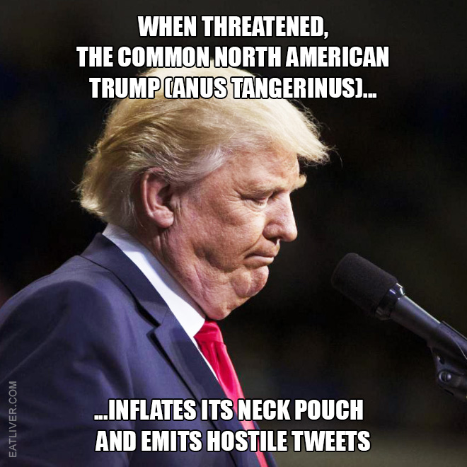 When threatened, the Common North American Trump (anus tangerinus) inflates its neck pouch and emits hostile tweets.
