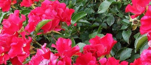 Почвопокровные розы 11