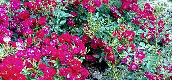Почвопокровные розы 9