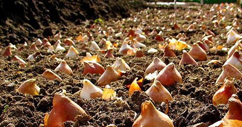 Посадка луковиц тюльпанов осенью