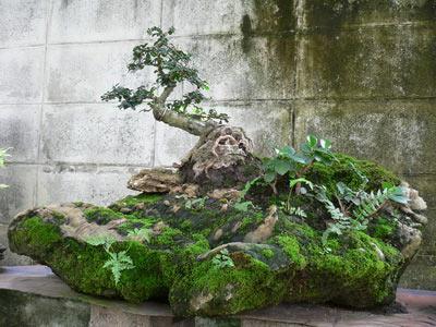 дерево бонсай фото
