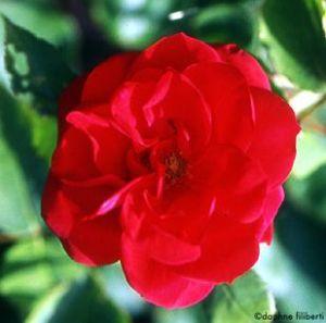 Роза сорта Mannheim