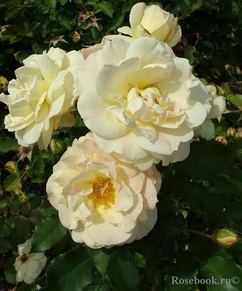 Роза Флорибунда - сорт Galaxy