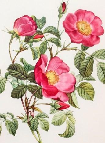Рисунок цветущего шиповника