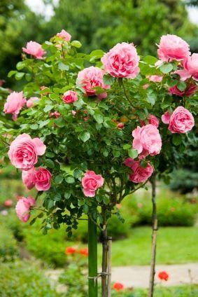 Шикарная цветущая штамбовая роза