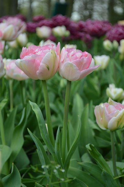Как выращивать тюльпаны в открытом грунте