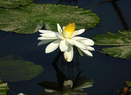 водяные лили нимфеи фото 12