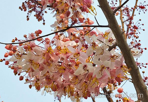 цветущие деревья фото (7)