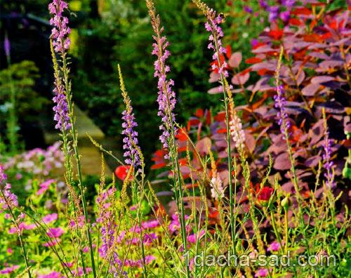 неприхотливые многолетние цветы для дачи (9)