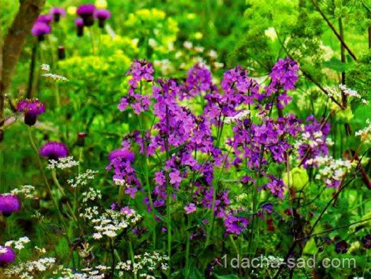 неприхотливые многолетние цветы для дачи (4)