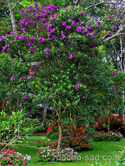 рододендрон в саду фото