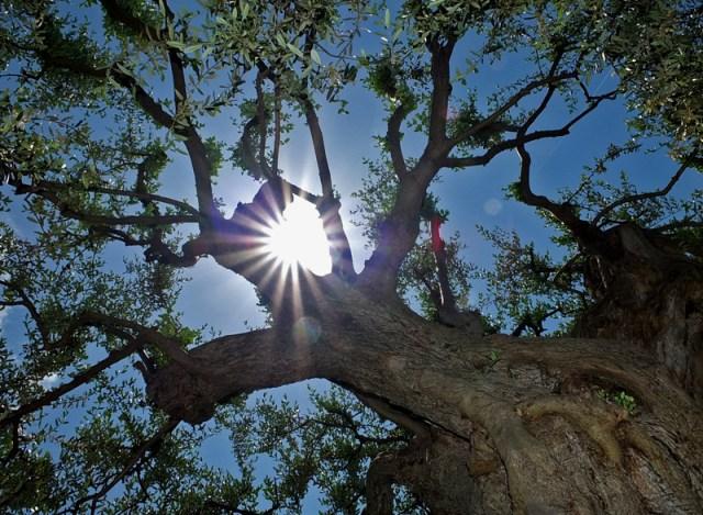 большие оливковые деревья