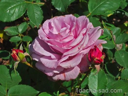 красивый розарий фото (18)