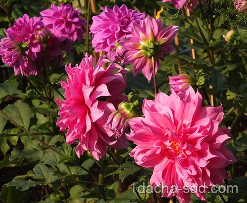 красивые цветущие георгины