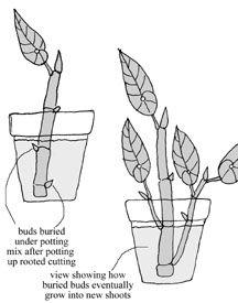 Размножение бегонии ростками
