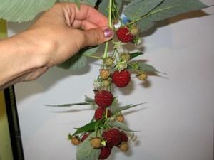 Спелые ягоды ремонтантной малины