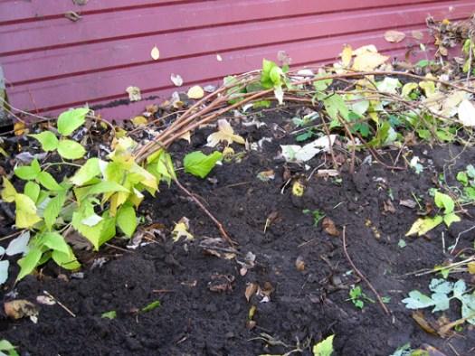Подготовленный к зиме куст малины