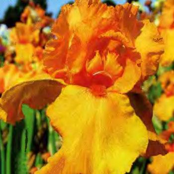 Цветущие садовые многолетники ирисы 19
