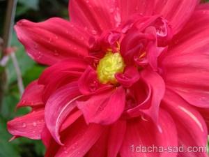 цветы георгины фото (2)