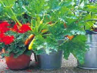Технология выращивания овощей и зелени в домашних условиях 2
