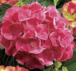 Гортензия садовая сорт Red Sensation