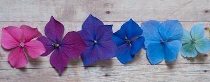 Изменение окраски цветков гортензии
