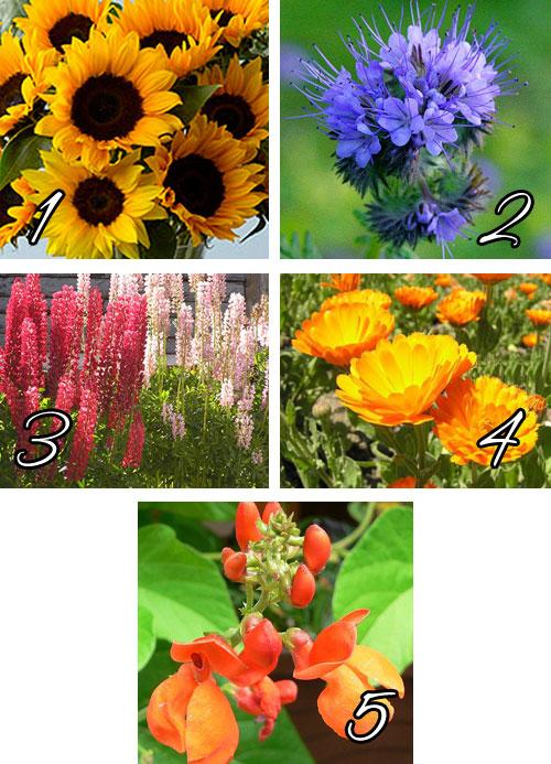 Лучшие красивоцветущие растения сидераты