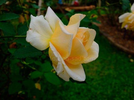 Фото шикарных роз из королевского парка 8