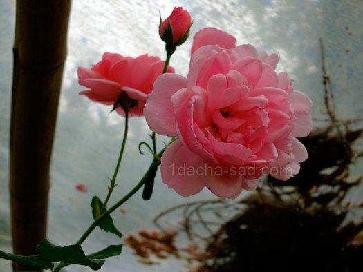 Фото шикарных роз из королевского парка 10