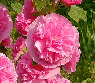 Мальва махровая розовая