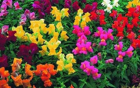 Многоцветие львиного зева