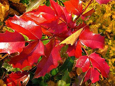 Магония падуболистная - листва осенью