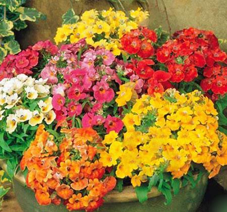 Микс из цветов немезии