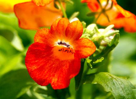 Цветок немезии