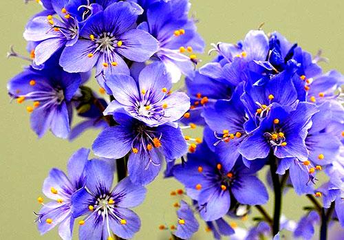 Цветение синюхи голубой