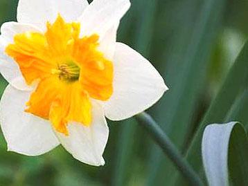 Нарцисс ядовит
