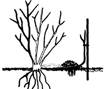 Метод размножения отводками