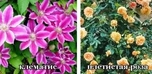 вьющиеся цветы для балкона