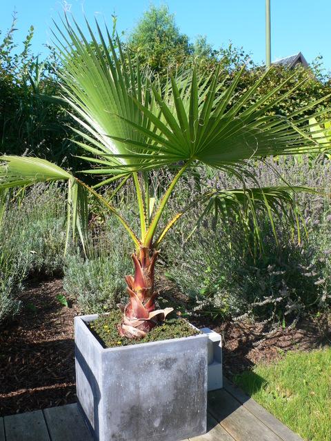 Комнатная пальма Вашингтония Нитеносная