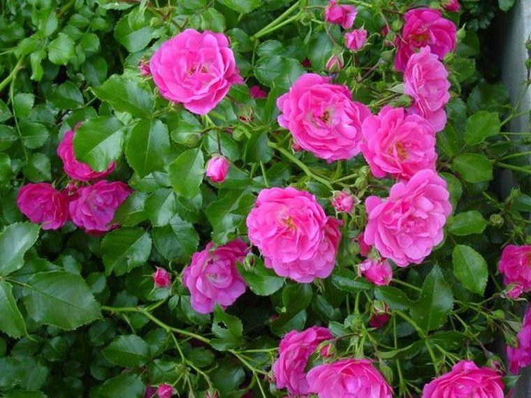 Ar galima gerti laukinę rožę su hipertenzija?