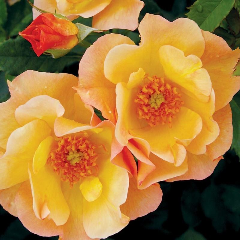 Уход за канадской розой осенью. Канадская роза, посадка и уход в открытом грунте. Достоинства роз канадской селекции