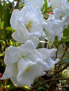 Колокольчики – посадка и уход в открытом грунте. Колокольчик: посадка цветка семенами, рассадой, деление корневища. Уход за колокольчиком однолетним и многолетними сортами