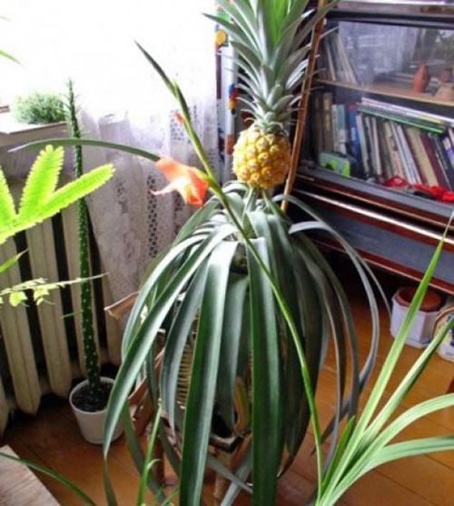 Сажаем ананас дома. Экзотика на подоконнике: а у нас ананас
