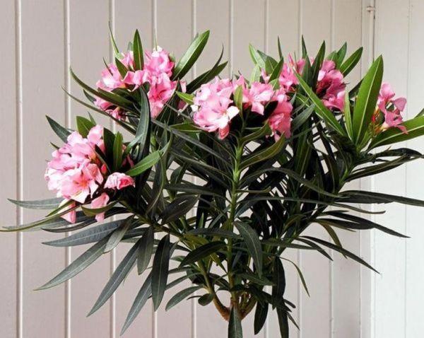 Цветок олеандр фото обыкновенный комнатный уход в