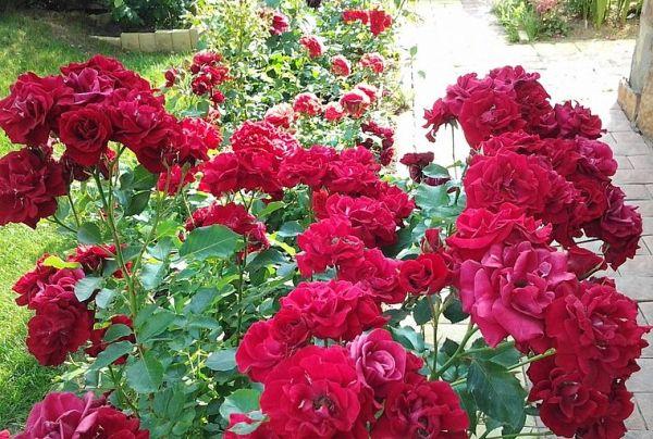 Розы флорибунда: что это такое, сорта с фото и названиями ...