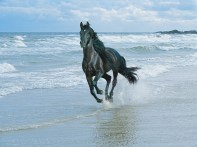 running_with_the_wind_black_andalusian-1280x960