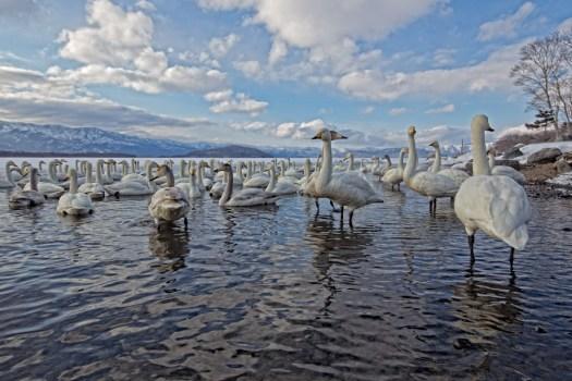 Whooper Swans in Hokkaido, Japan