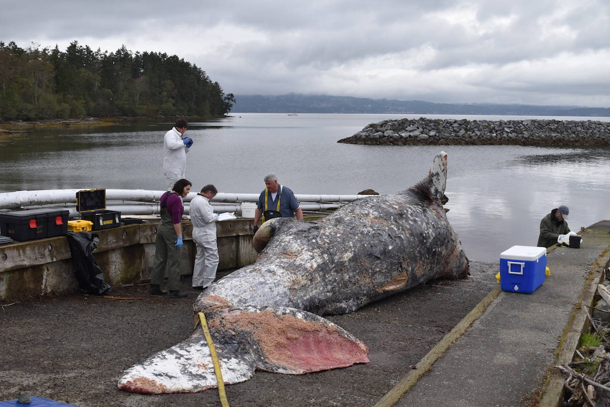 Victoria Necropsy On Grey Whale Aims To Unlock Secrets Of